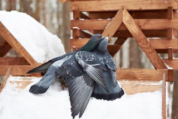 Pigeons around feeders in winter