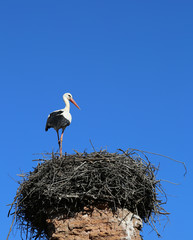 European Stork standing on nest