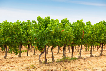 Rows of Vineyard Field in Southern France