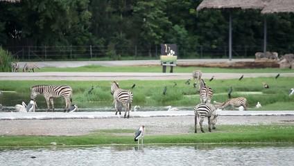 Group of zebras and pelicans in  national Safari park.  Bangkok