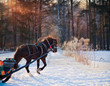 Black Horse with sleigh on frozen forest background