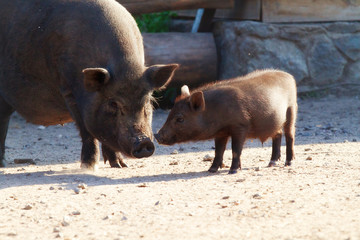 Black pig with her little pig of a village yard