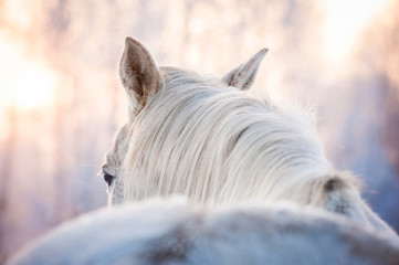 Portrait of white horse in winter