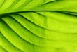green leaf texture - 78064289