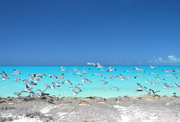 Seagulls at the coast of Little Exuma, Bahamas