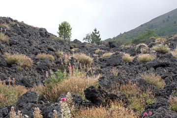 Recolonization of lava - Rumex scutatus