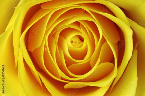 zolta-roza