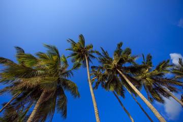 Кокосовые пальмы на фоне синего неба.
