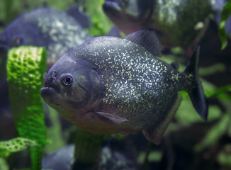 Рыба Пиранья.