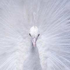 Павлин белый. Птица.