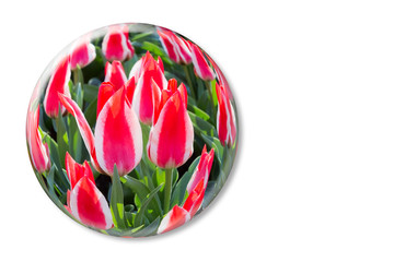 Red white tulips in glass sphere on white background