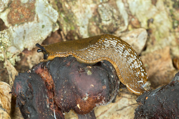 Spanish slug, arion vulgaris feeding, focus on eyes