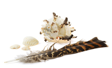 Big shell, three small shells and feather