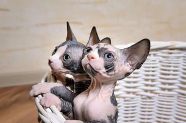 Sphynx Kittens Inside a Basket Looking Up