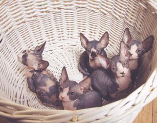 Little Gray Sphynx Kitten Inside the Basket