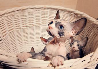Little Sphynx Cats Inside a Wooden Basket