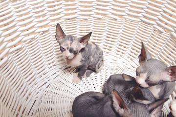 Little Sphynx Kittens Resting Inside the Basket