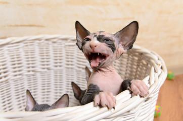 Little Sphynx Kitten in a Basket Screaming
