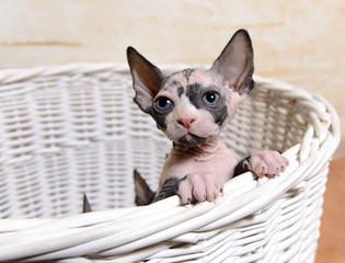 Lonely Sphynx Kitten In a Basket Looking Afar