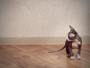 Little Sphynx Cat on Wooden Floor at Home