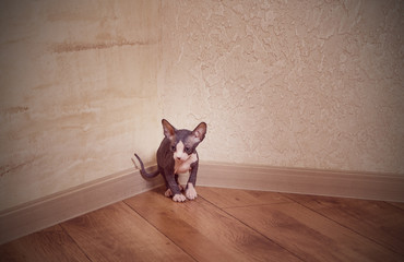 Lonely Sphynx Kitten at the Corner of the House