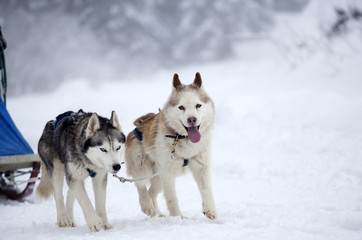 Siberian Husky dogs in the snow