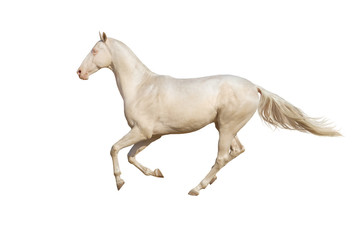 Beautiful akhal-teke horse run gallop isolated on white backgrou