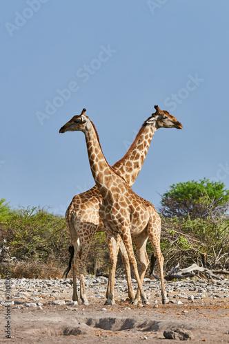 Papiers peints Girafe Two giraffes