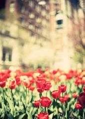 Tulips in spring in New York City