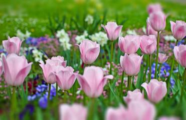 Frühlingserwachen:  Frühlingsblumen in pink, blau und lila :)