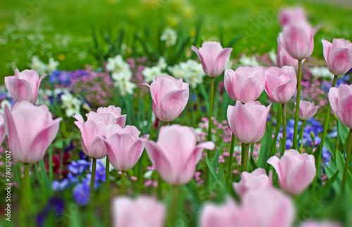 Poster Tulp Frühlingserwachen: Frühlingsblumen in pink, blau und lila :)