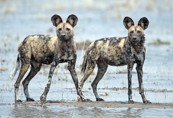 Africa  Botswana, african wild dogs