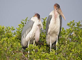 Africa  Botswana. marabou stork at nest.