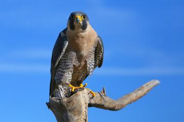 Peregrine falcon sitting on a stick