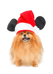 Pomeranian dog with Christmas hat isolated on white background
