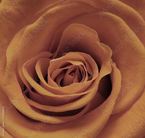 brazowa-roza