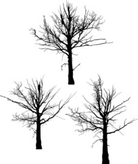 three black dead large tree silhouettes on white