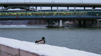 Duck in the snow on the city embankment of the river