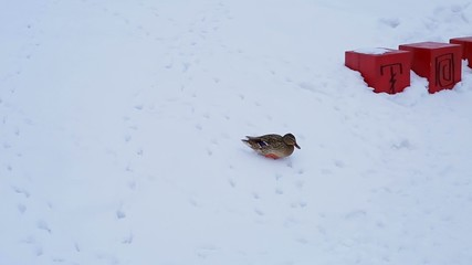 Wild duck in the snow in the city, migratory bird walk on snow