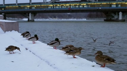 Ducks in the snow on the city embankment of the river