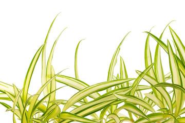 phalangère, plante araignée