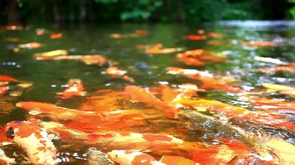 Koi fishes feeding in a pond. Close up. Blurred jungle