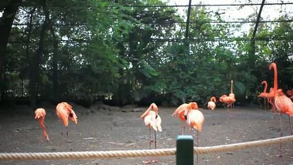 flamingo in zoo Safari park. HD. 1920x1080