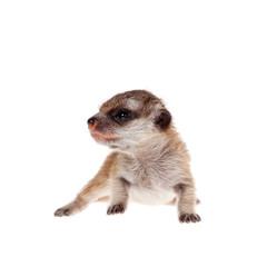 The meerkat or suricate cub, 2 weeks old, on white