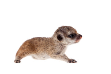The meerkat or suricate cub, 2 weeks old, on white