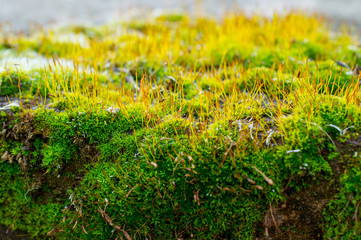 Moss on rock - close up