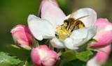 Biene in Apfelblüte