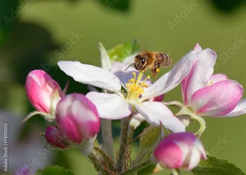 Fotobehang Bee Biene im Flug
