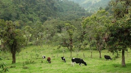 Cattle grazing in a pasture cut out of montane rainforest