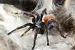 greenbottle tarantula (Chromatopelma cyaneopubescens) - 78109646